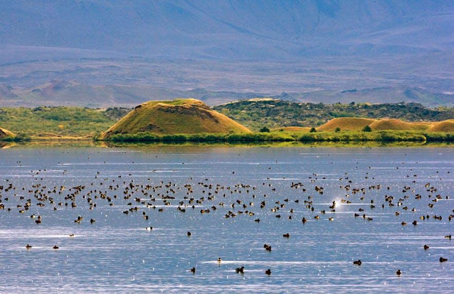 Beaucoup de canards au lac Mývatn, paradis de l'observation ornithologique