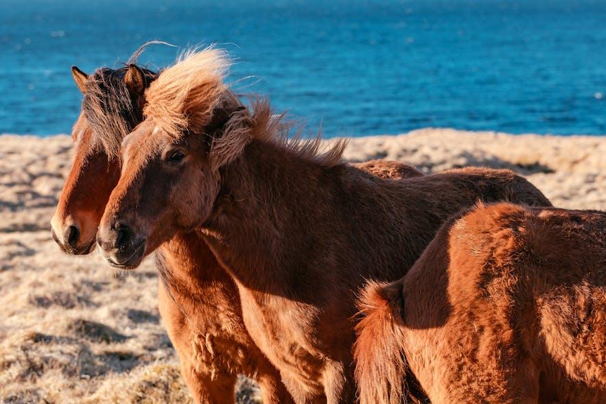 冰岛大风天,掀起冰岛马的头发帘