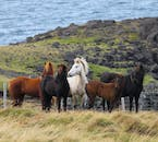 The Icelandic horse roams freely in the mountains in the summer