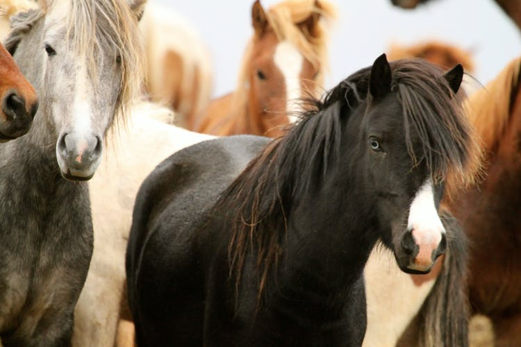 Icelandic horses roam freely in the mountains in the summer, and are gathered from the nature each autumn in an annual horse round-up