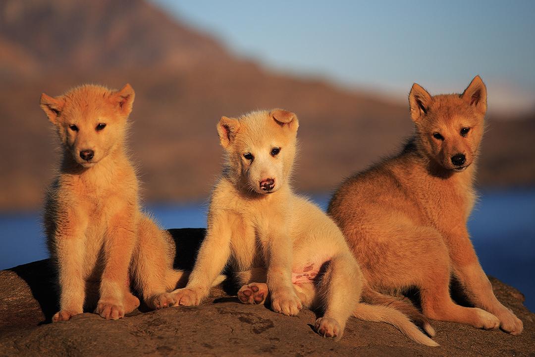 在格陵兰岛Hare峡湾内可以看到野生的北极狐