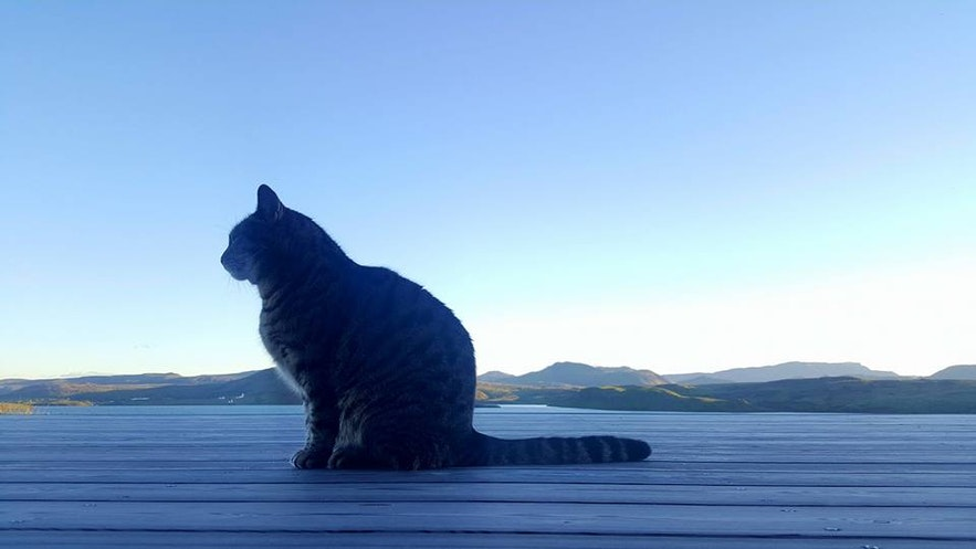 Icelandic cat Eyja, short for Eyjafjallajökull, looks out for mice in the countryside