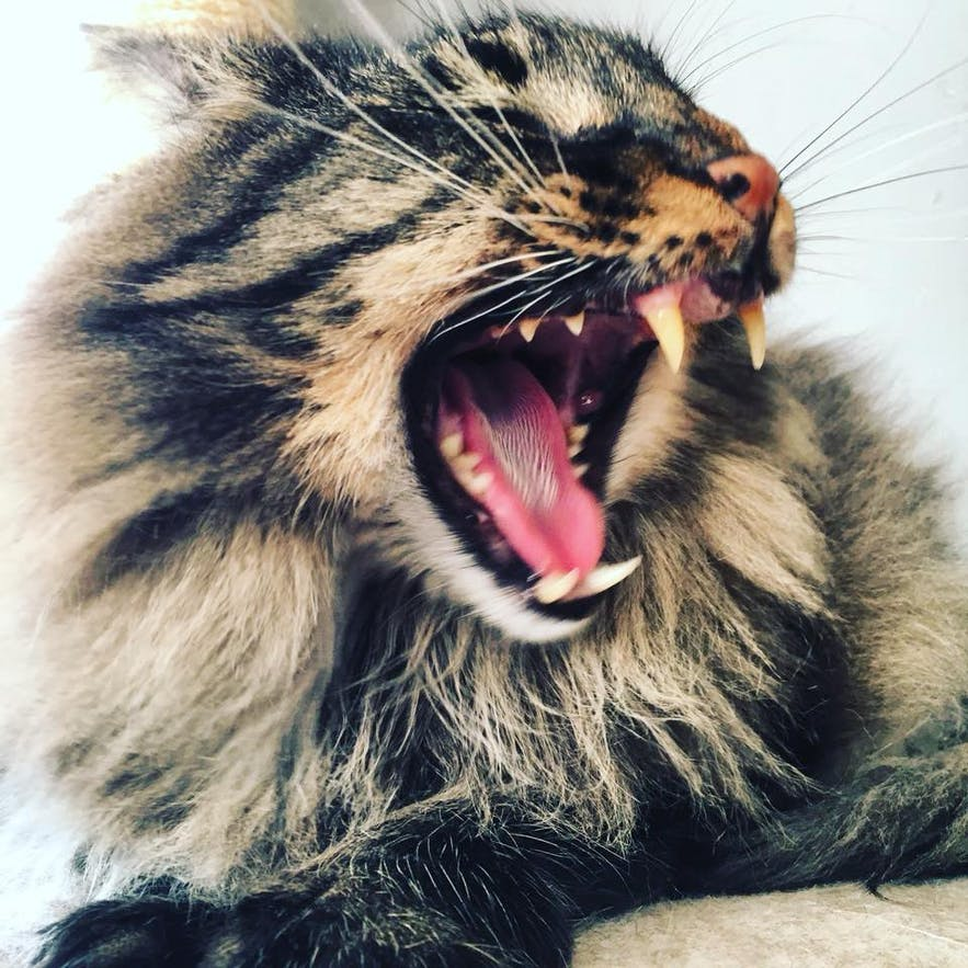 Skuggi, an Icelandic cat with teeth to impress