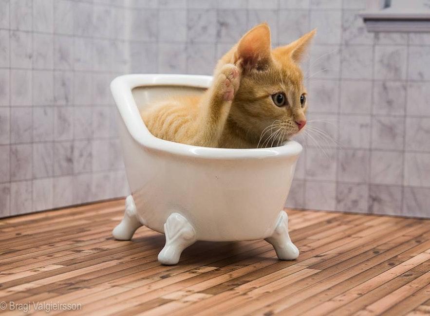 Vigdís, a cat reality star from Iceland