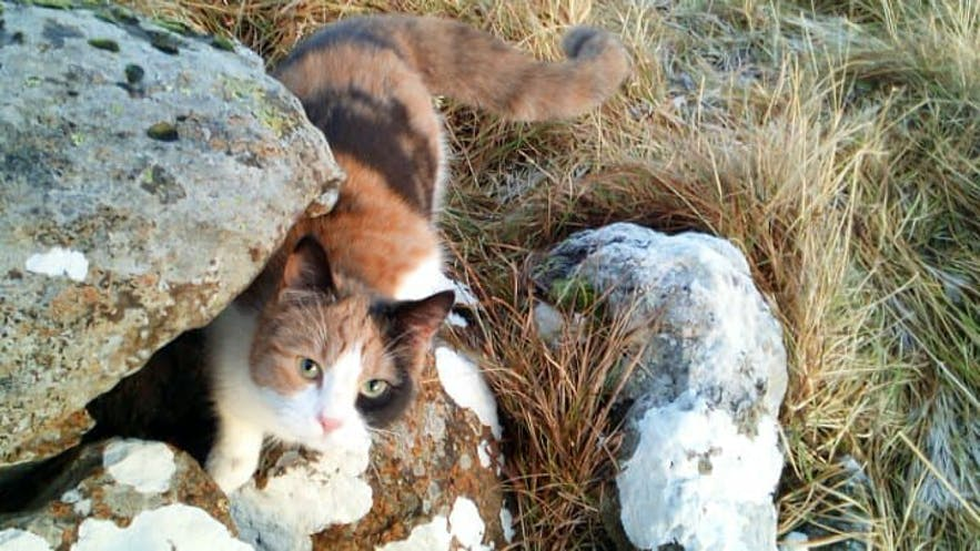 Perla, an Icelandic cat playing with a hole in the countryside