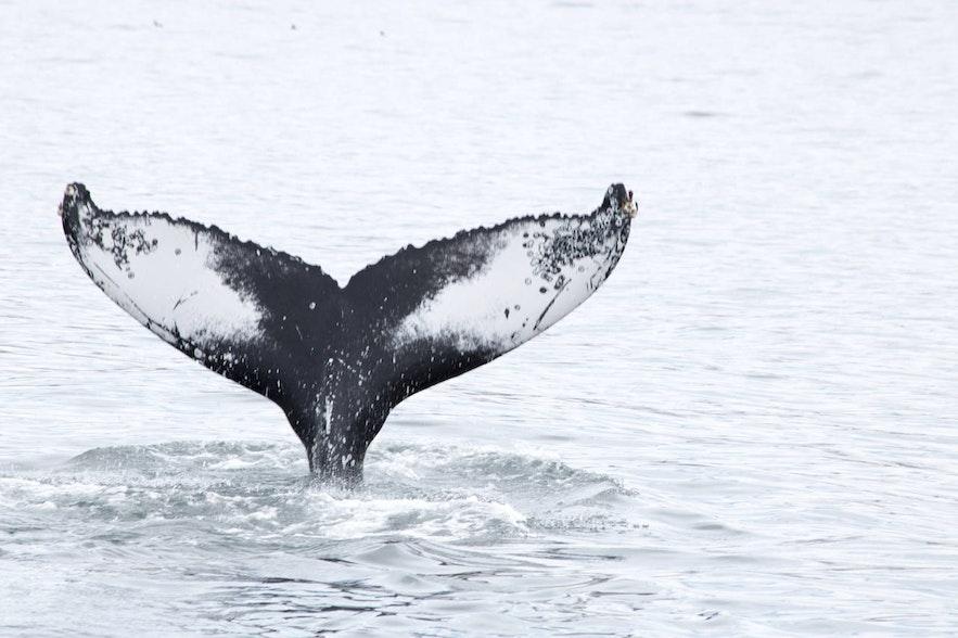 冰島五月觀鯨