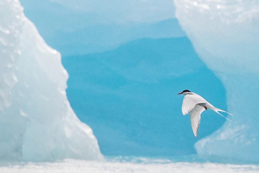 冰島五月冰河湖海燕
