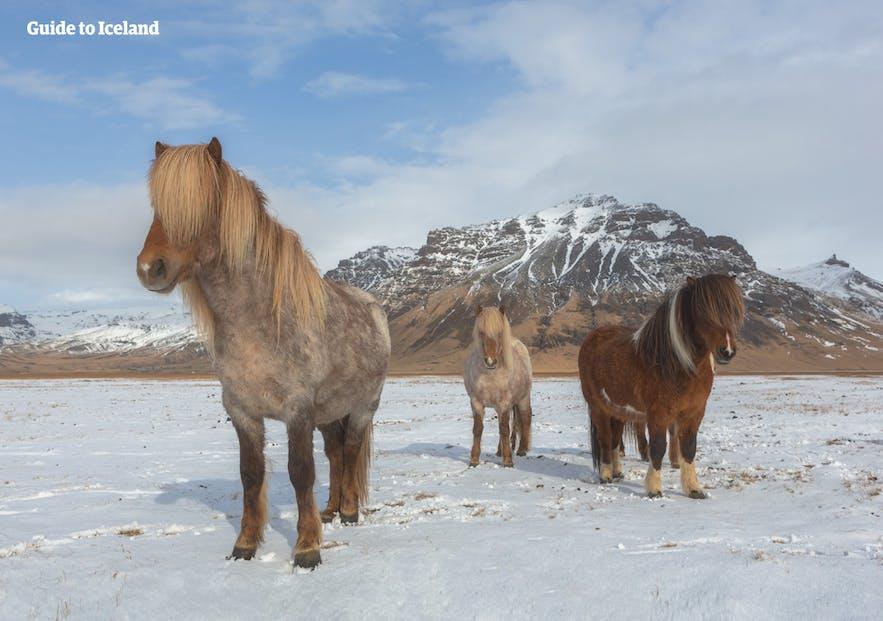 矮小友好的冰岛马