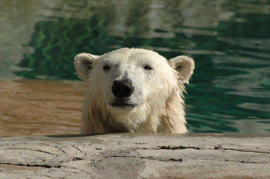 冰岛有北极熊吗?