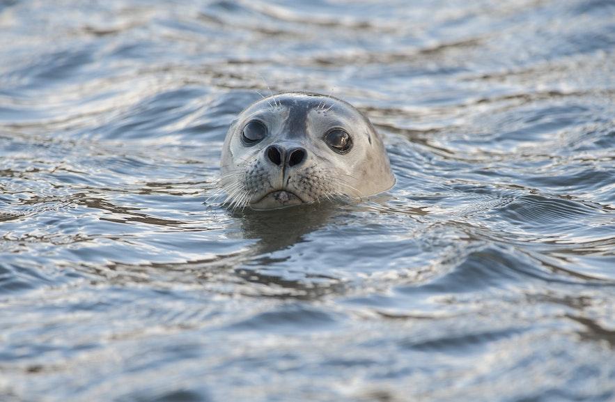 天晴时,经常可以在杰古沙龙冰河湖的冰山上看到晒太阳的海豹