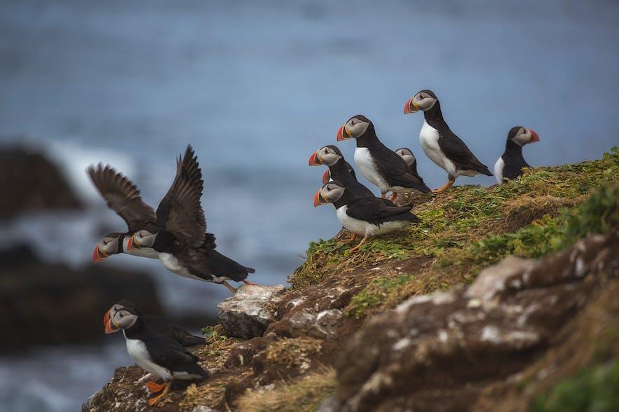 冰岛海鹦鸟