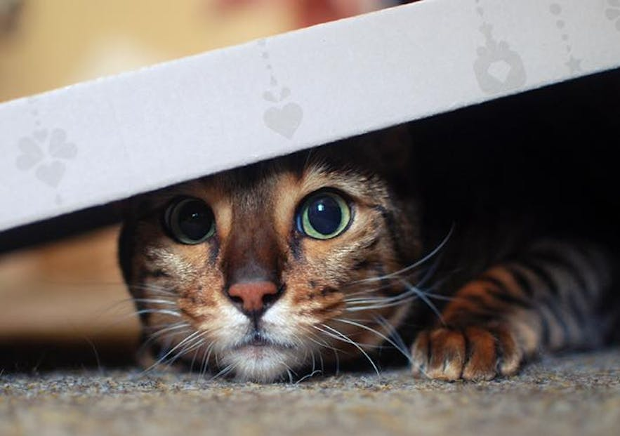 Nikita, a 12 year old Bengal cat living in Iceland