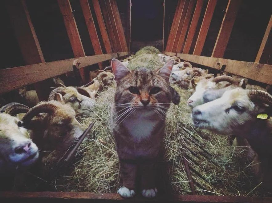 Spaki-Brandur Icelandic farm cat