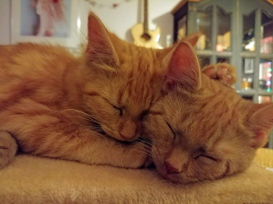 Icelandic cats Lóa and Lísa cuddle up