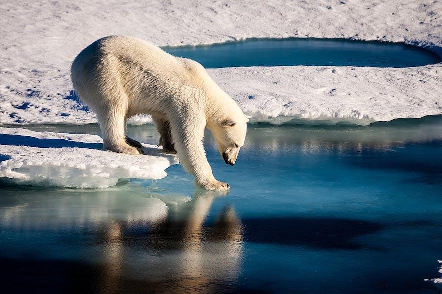 近くではあるけれど滅多にアイスランドには来ないシロクマ