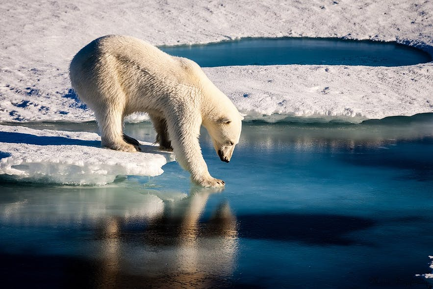 A polar bear testing the Arctic waters