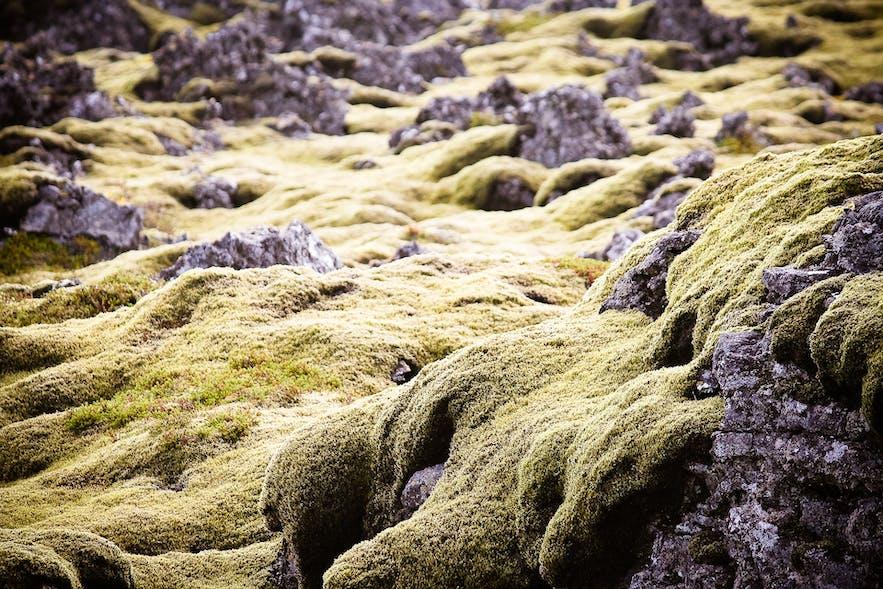 繊細なアイスランドの苔