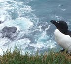 The largest colony of razorbills in Iceland is found at Látrabjarg cliffs in the Westfjords