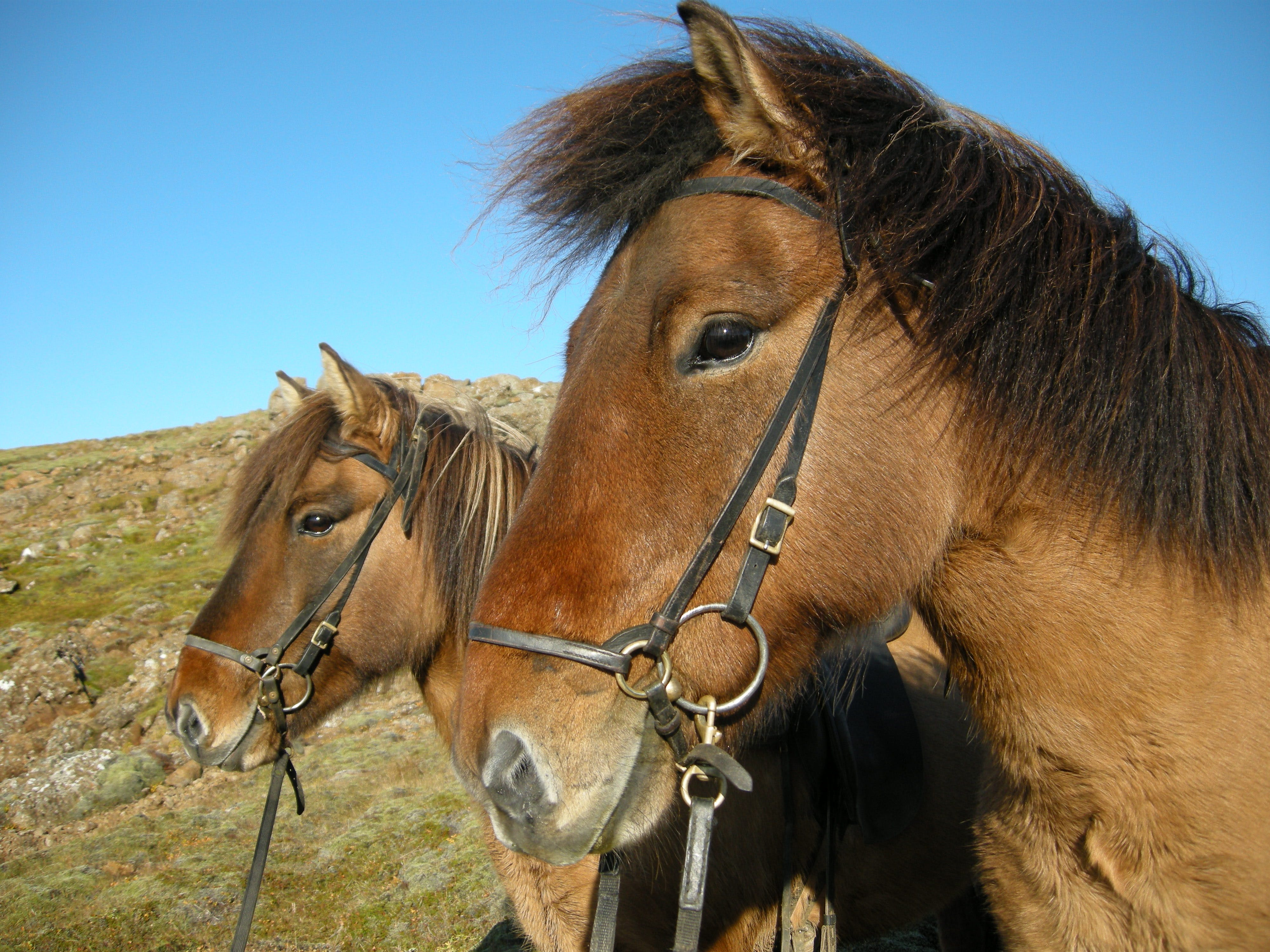 You'll get to meet the mild-tempered Icelandic horse on a horse riding tour.
