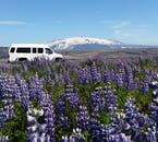A Super Jeep goes through a field of beautiful purple lupines.