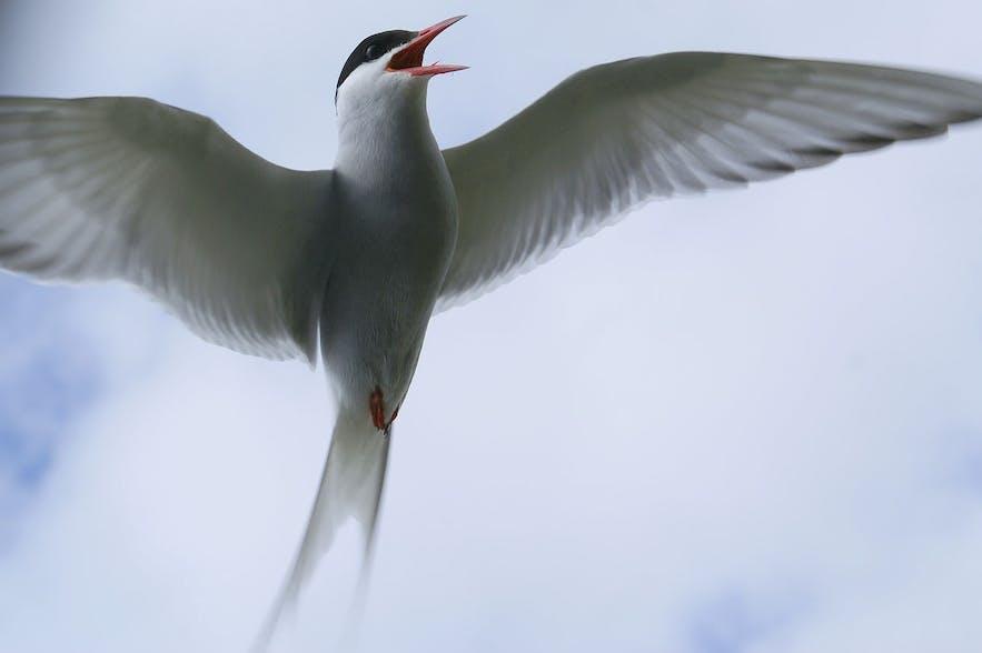 北极燕鸥具有攻击性