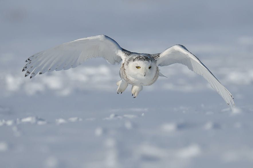 One of Iceland's most elusive and beautiful animals is the rarely seen Snowy Owl.