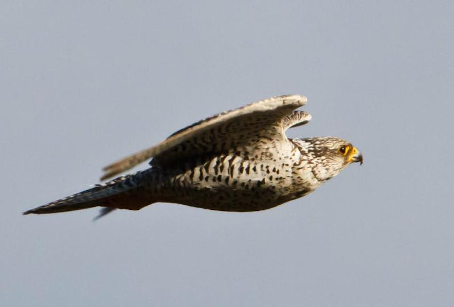 Gyrfalcons are the national bird of Iceland.