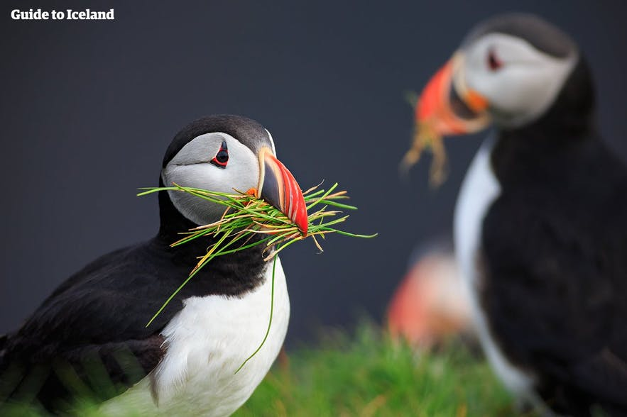 A beautiful pair of puffins nesting in the cliffs of Iceland.