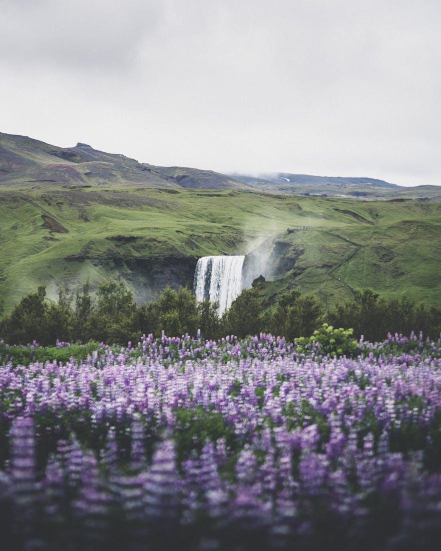 冰島魯冰花