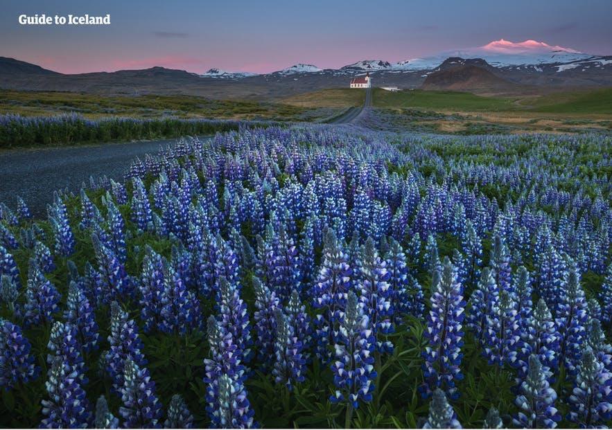 冰島夏季維克魯冰花