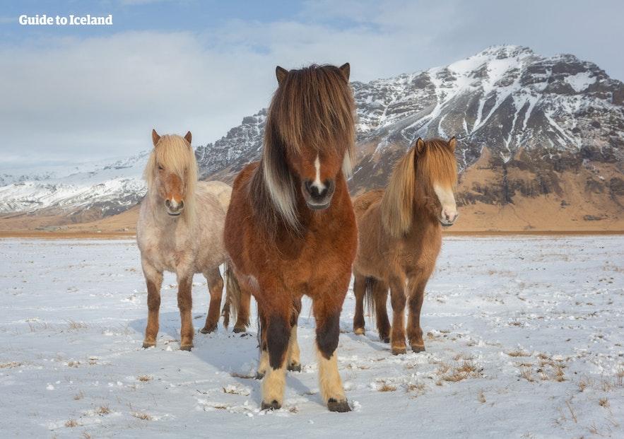 Hoewel ze 'paarden' worden genoemd, is het IJslandse ras eigenlijk meer van het formaat pony.