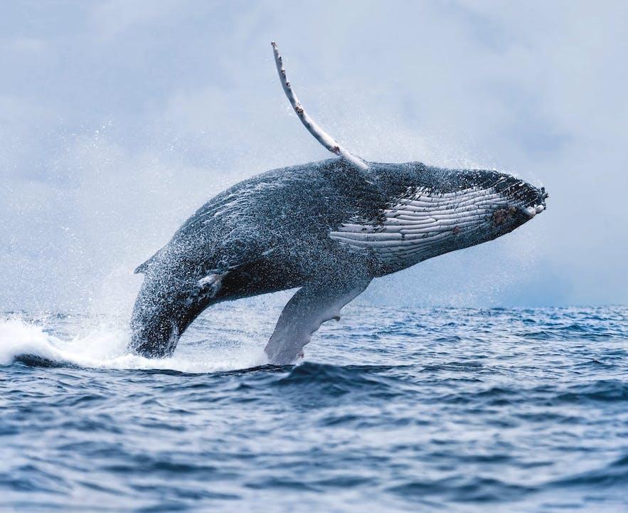 水面から勢いよくジャンプするザトウクジラ