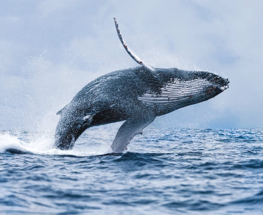 A humpback whale breaching the water.