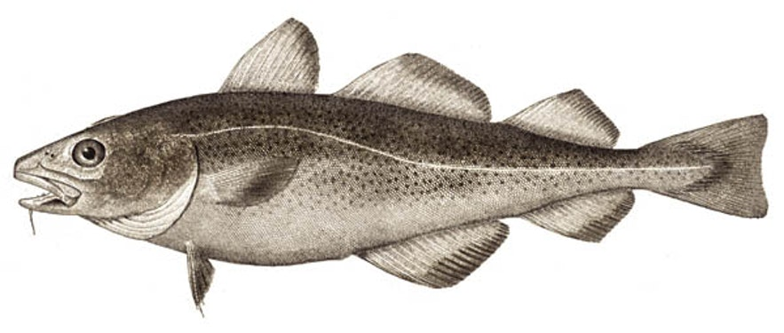 Imagine a nice Atlantic Cod tongue to chow down on.