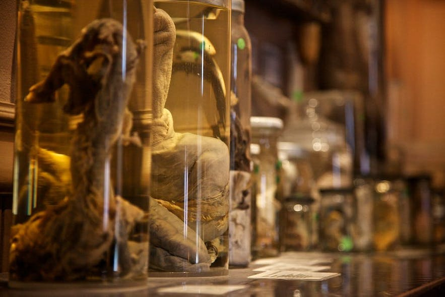 Dicks in jars are abundant in the Phallological Museum in Reykjavík.