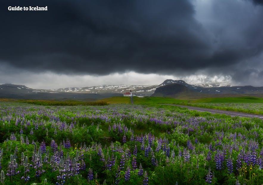 Kwitnące łubiny na półwyspie Snaefellsnes