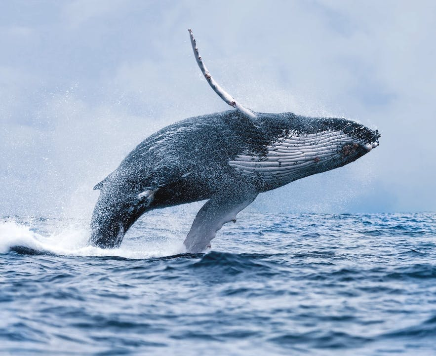 A majestic Humpback Whale jumping out of the waters of Faxaflói Bay, just outside of Reykjavík in Iceland.