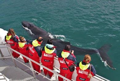 Ballenas jorobadas en Eyjafjord | Avistamiento de ballenas desde Akureyri