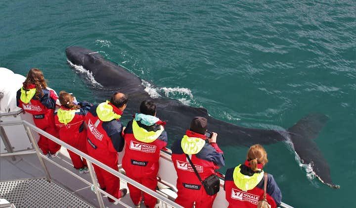 Niesamowita 3-godzinna wycieczka łodzią z obserwacją humbaków i z transferem z Akureyri