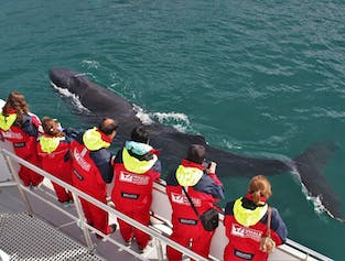 Eyjafjord Humpbacks | Whale Watching from Akureyri
