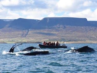 Humpback Whale Watching in Eyjafjord | Akureyri Express