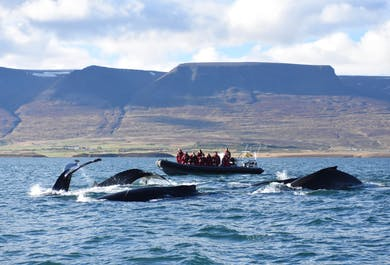 Closer to nature   Whales & Birds in Eyjafjordur Fjord