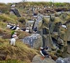 Thousands of puffins come to Iceland every summer to fall in love and breed.