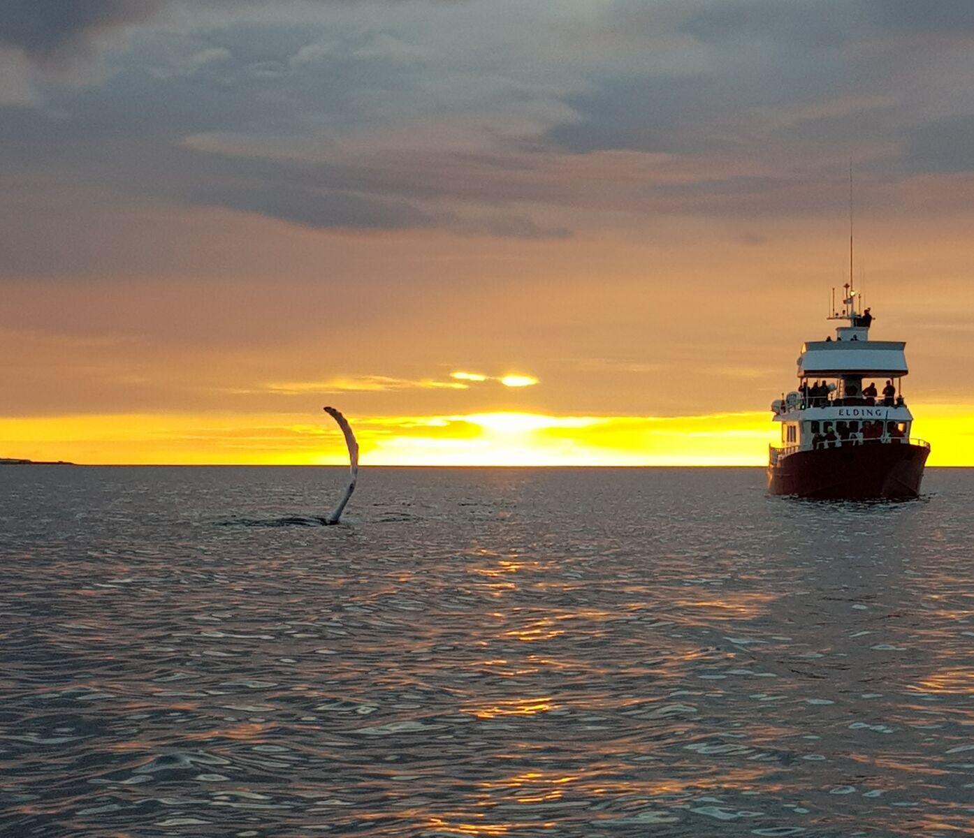 แสงพระอาทิตย์เที่ยงคืนแย้มที่ท้องฟ้าขณะที่วาฬกำลังโผล่มาที่หน้าน้ำ