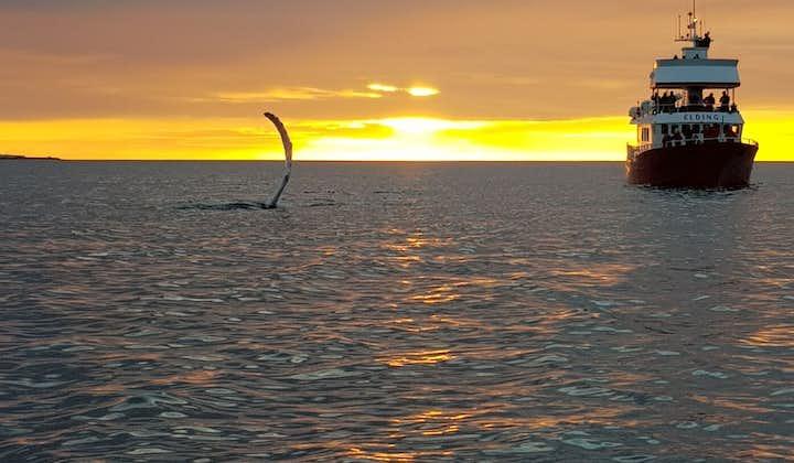 Magiczna 3-godzinna wycieczka z obserwacją wielorybów podczas białych nocy z transferem z Reykjaviku