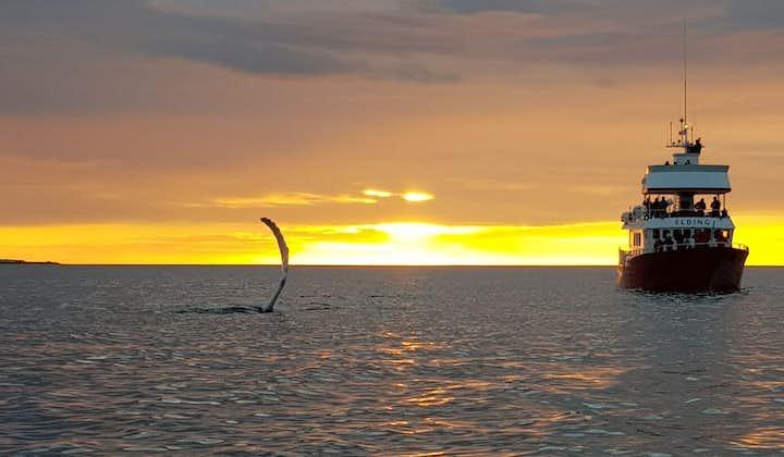 The midnight sun gleams against the ocean as a whale breaks the surface.