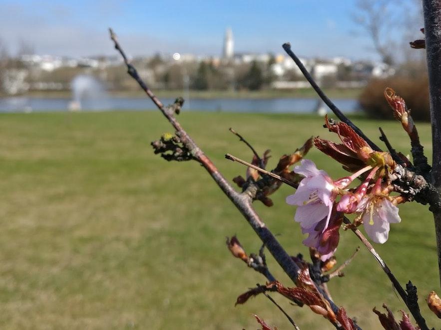 貴重な桜の木
