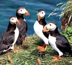 A Puffin's bill changes colour with the passing seasons.