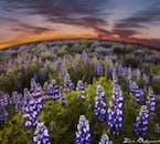 ルピナスの花に覆われる6月のアイスランド