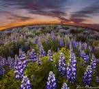 Iceland is covered in purple lupine fields in June each year.